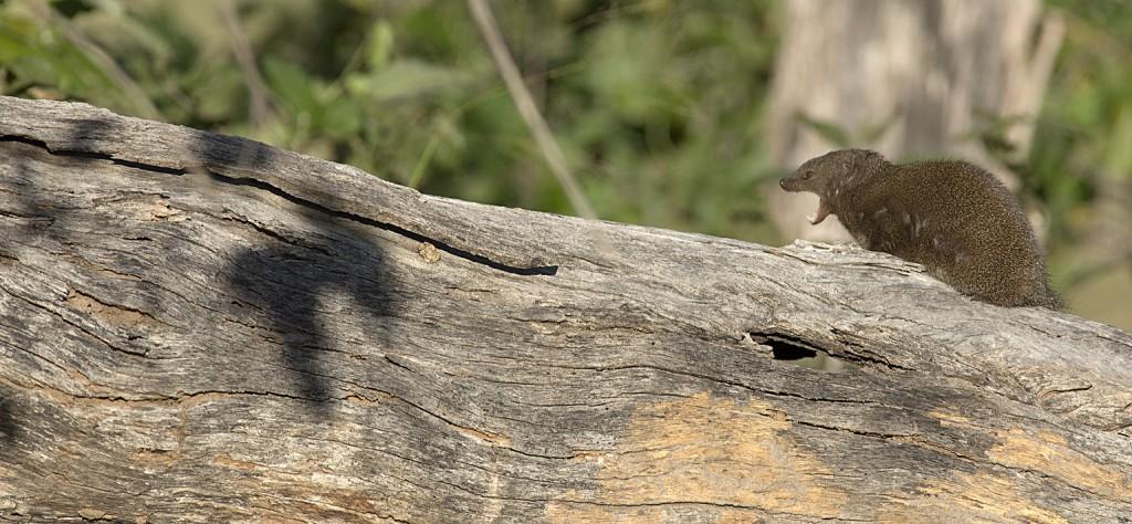 Mongoose, yawning