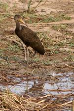 Courlan brun dans le Pantanal, Brésil