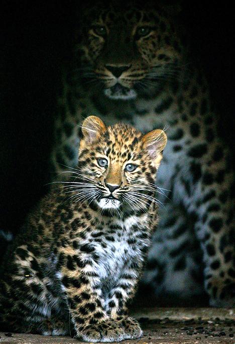 Gros chaton : léopard de l'Amour