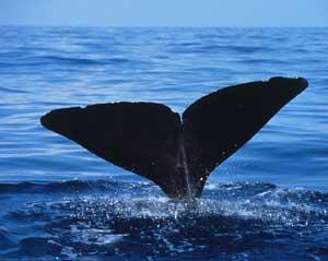 L'Islande met un terme à la chasse à la baleine