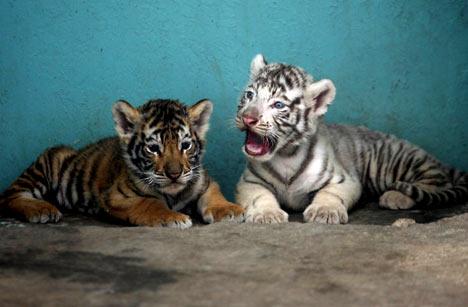 Deux tigres. Deux frères ?