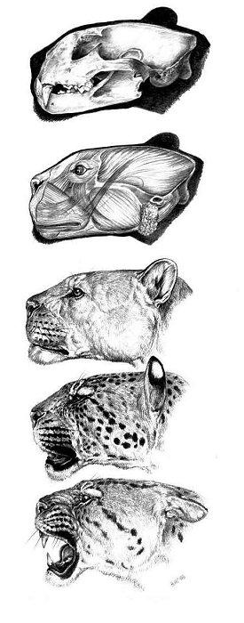 Guépards, pumas et jaguars en Europe