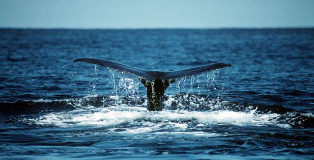 Dernières nouvelles des baleines : discussions et déjections