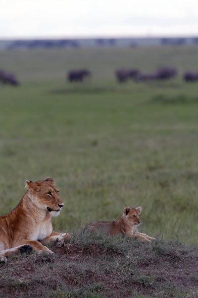Lionne et lionceau