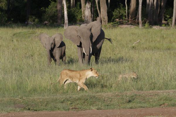 Bébés éléphants vs Lions