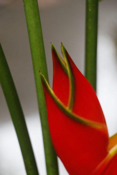 _MG_2223 Heliconia Caribbea