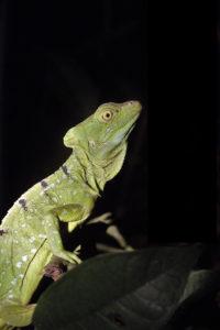 Basiliscus basiliscus