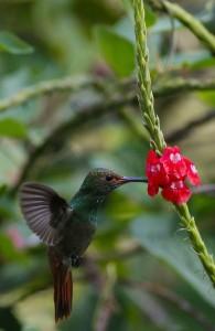 Costa Rica : Colibris en vol 1/3