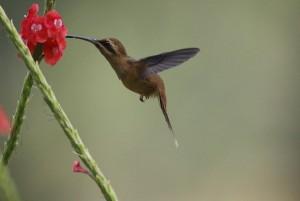 Costa Rica : Colibris en vol 2/3