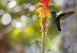 Costa Rica : Colibris en vol 3/3