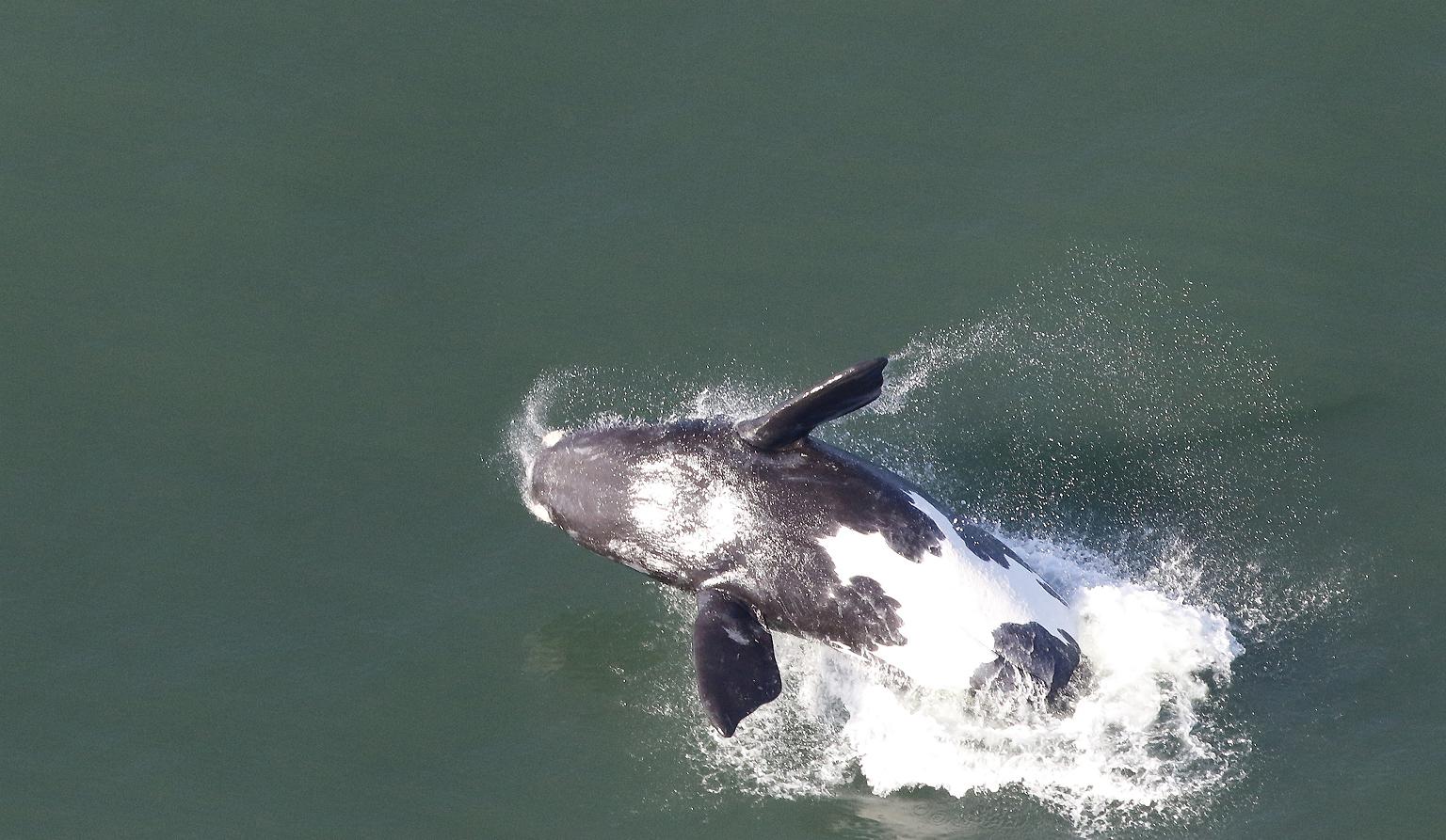 Baleines à Hermanus, vues du ciel