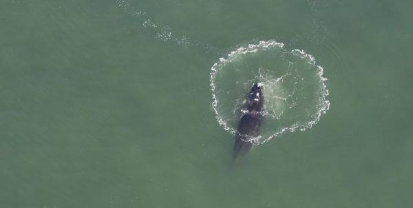 Baleine franche australe - cercle de bulles