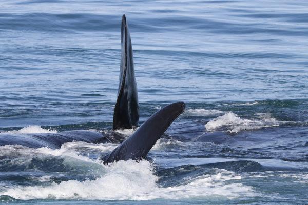 Ailerons de baleines australes