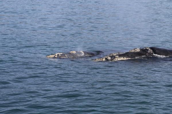 Baleines australes