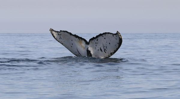 Queue de baleine australe