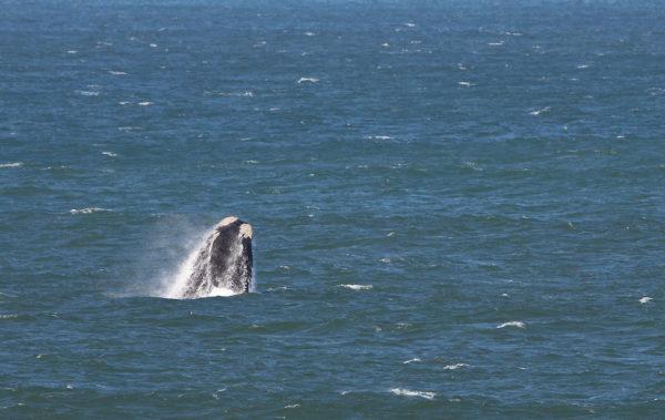 Baleine franche australe (breaching)