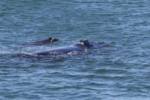 Deux baleines franches