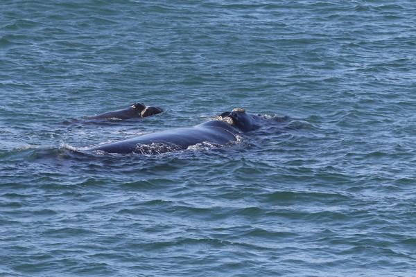 Baleine franche australe sautant en face de Hermanus