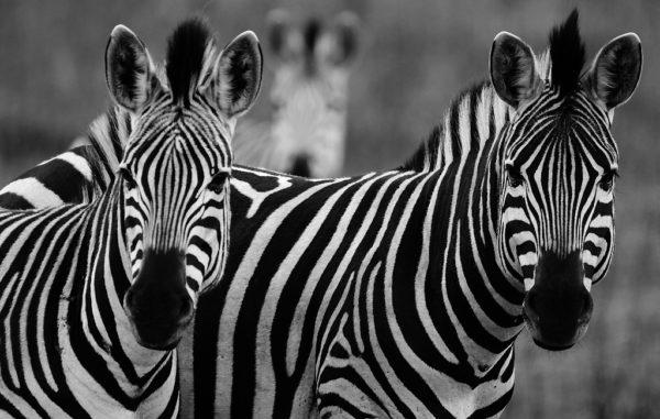 Zebras, Hluhluwe Park, August 2015.