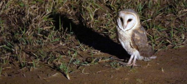 Effraie des clochers / Western Barn Owl