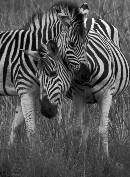 Zebres, noirs et blancs
