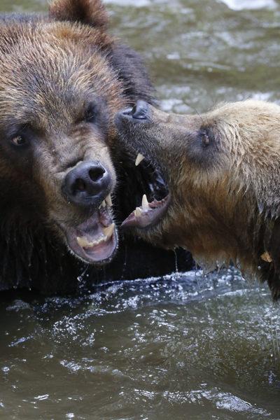 Combat d'ours