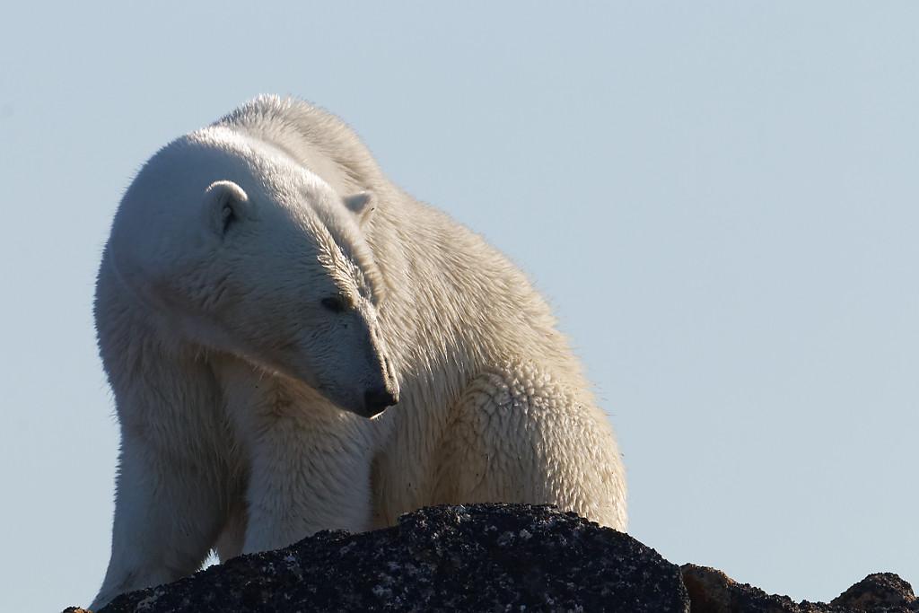 Ours blanc à contre-jour