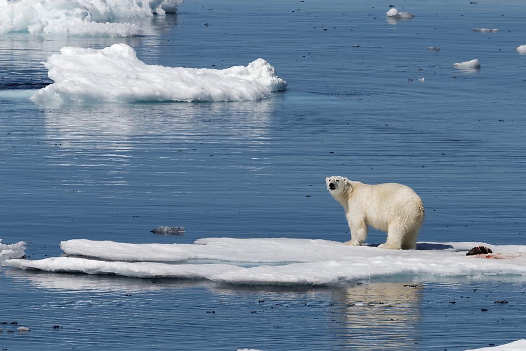 Ours polaire sur sa proie