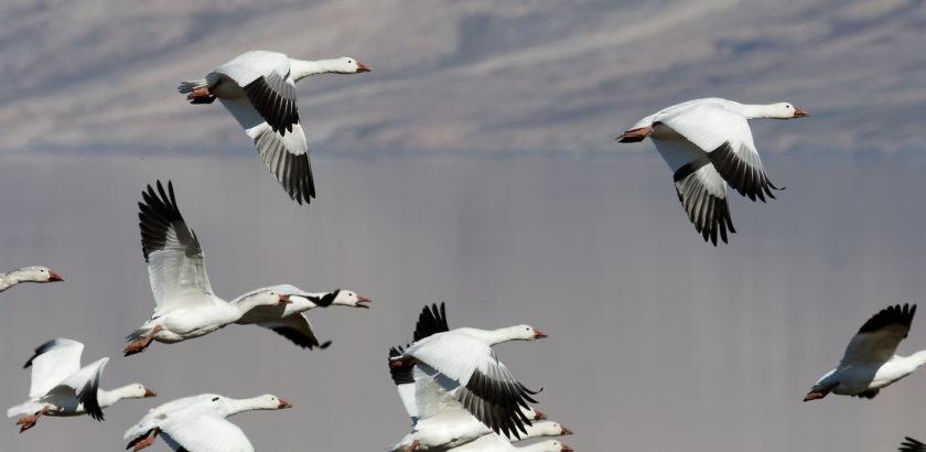 Oies blanches du Canada