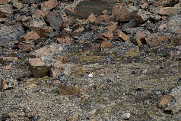 lièvre arctique, arctic hare