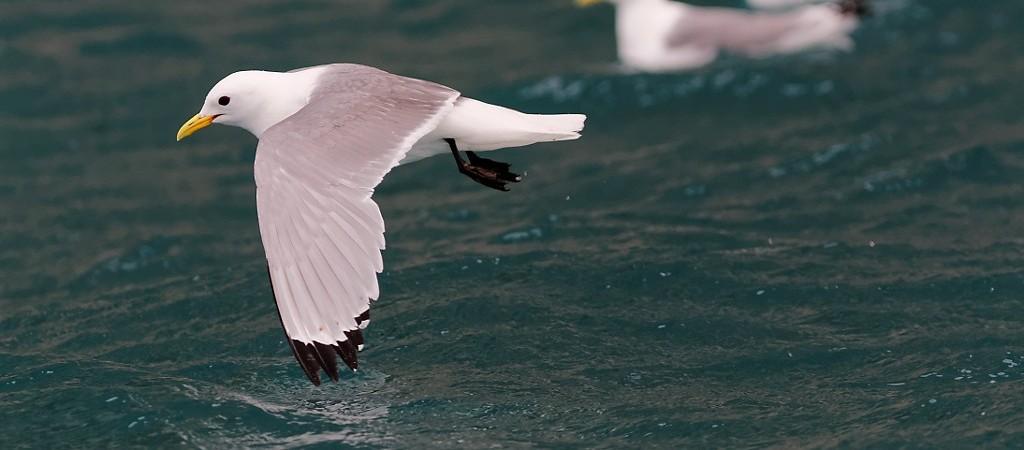 Oiseaux à Prince Leopold Island 1/3