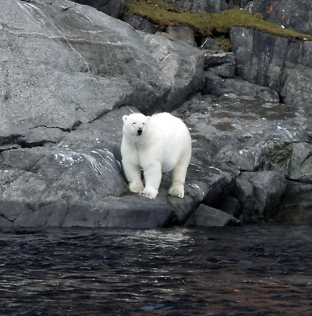 Ours polaire dans le détroit de Bellot