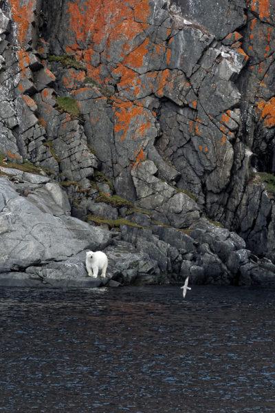 Ours polaire, polar bear