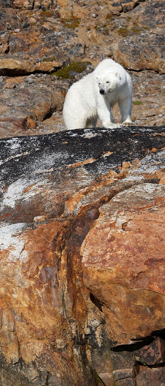 Ours polaire sur le rocher rouge