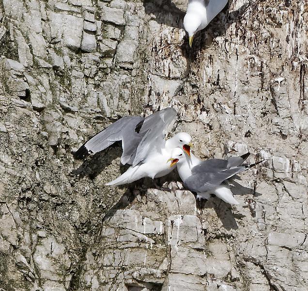 Conflits de voisinage entre oiseaux à Prince Leopold Island