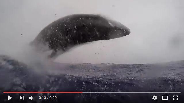 Baleines à bosse (Tonga)