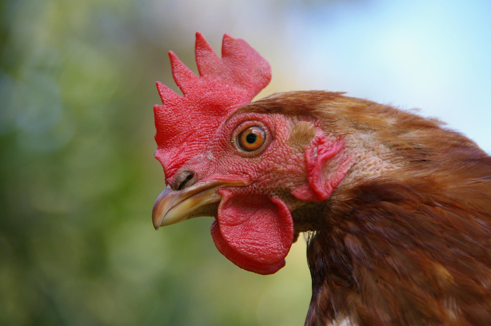 Pourquoi la poule a-t-elle traversé la route ? Histoire d'un mème