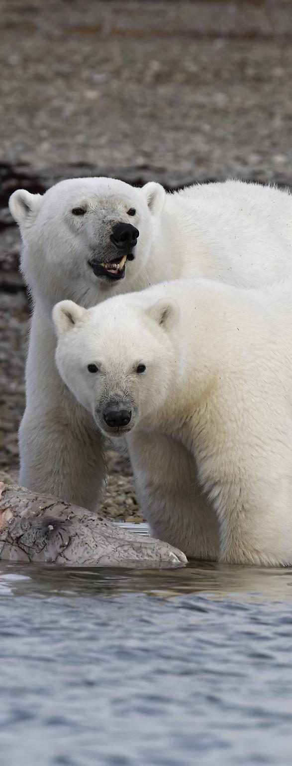 Quelques ours du Grand Nord