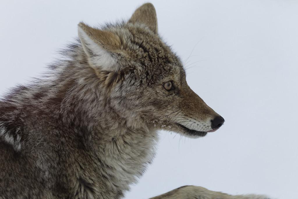 Coyotes en hiver – Yellowstone