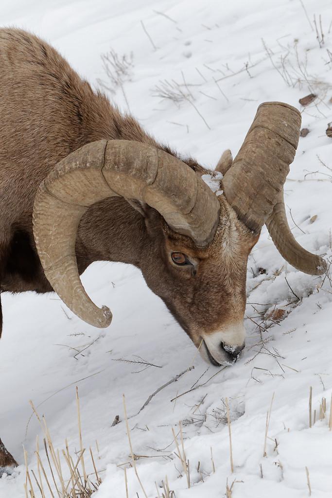 Grande faune en hiver – Yellowstone