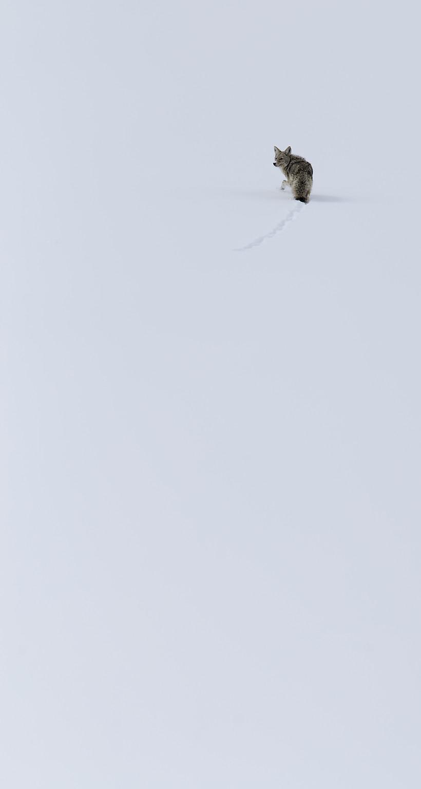 Coyotes de loin – Yellowstone