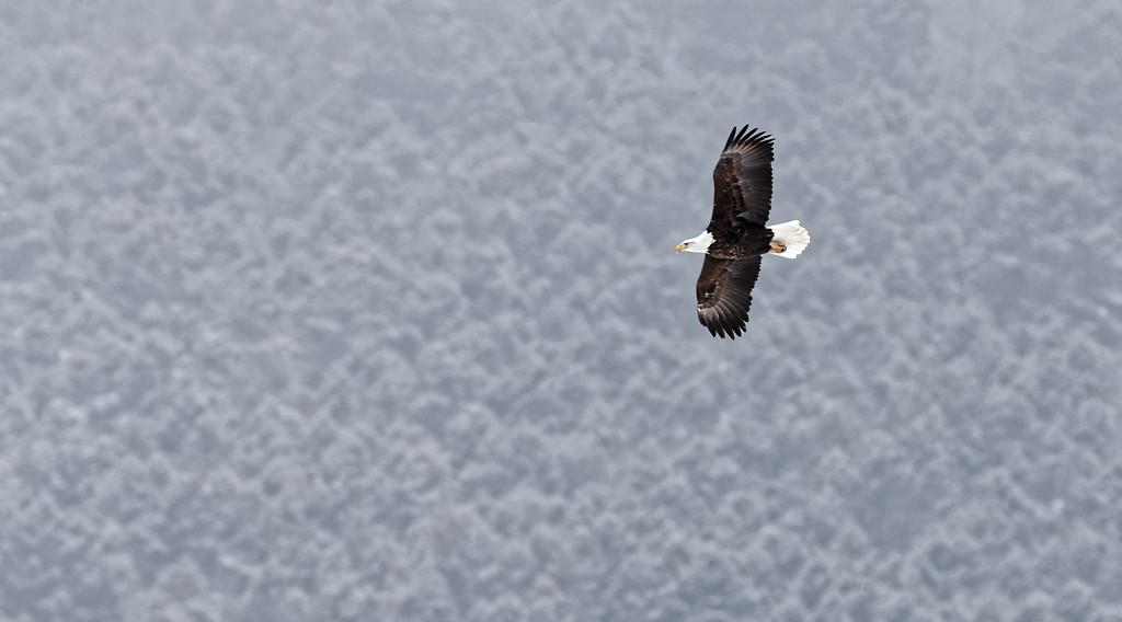 Aigles du Yellowstone (hiver)