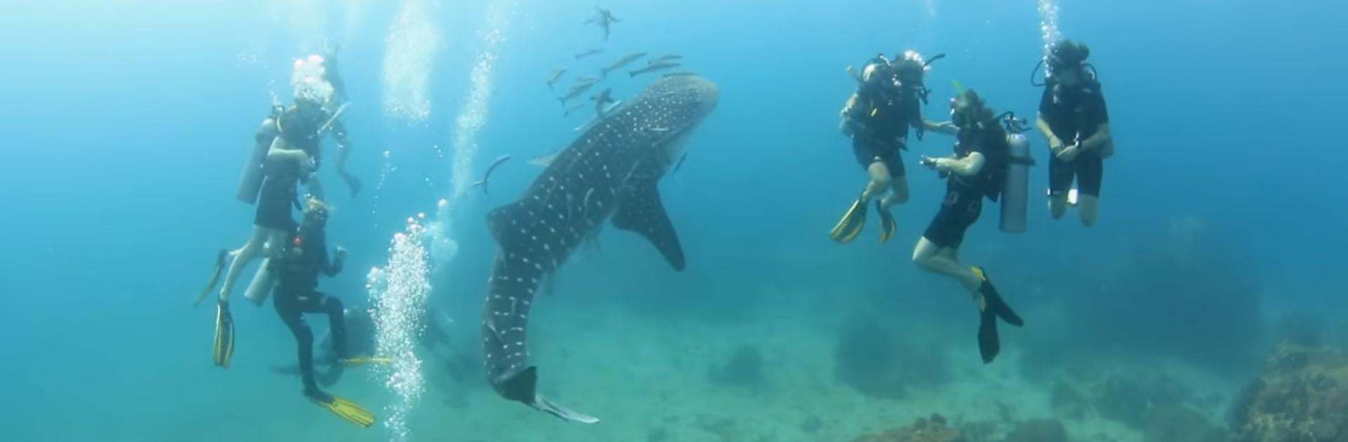 Je veux voir ce requin à ma prochaine plongée
