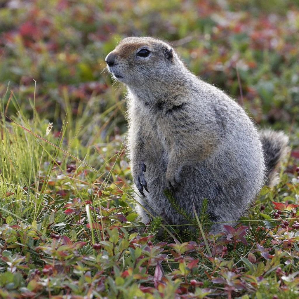 Île de Wrangel : marmottins