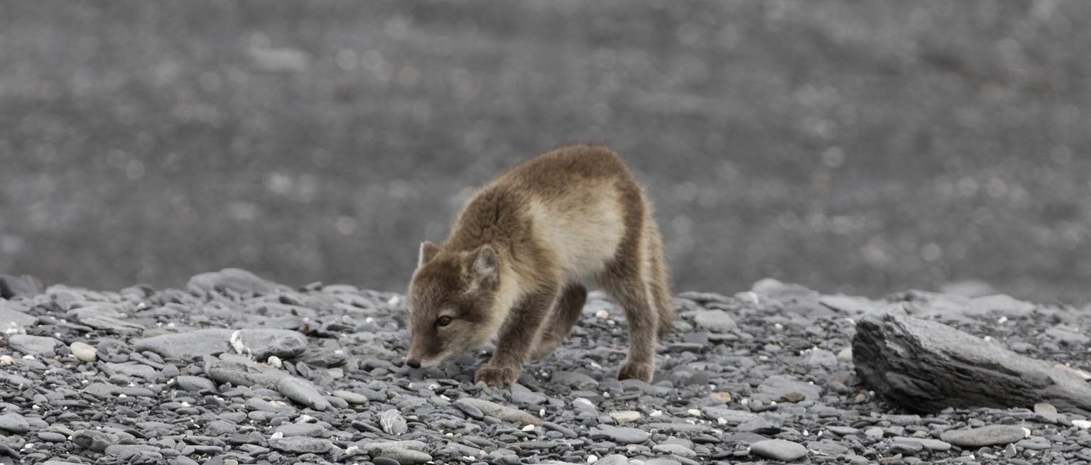 Les renards arctiques ne sont pas blancs