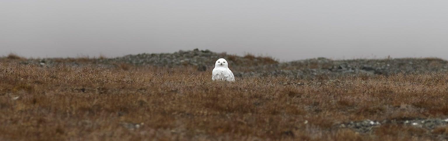 Île de Wrangel : Harfang des neiges