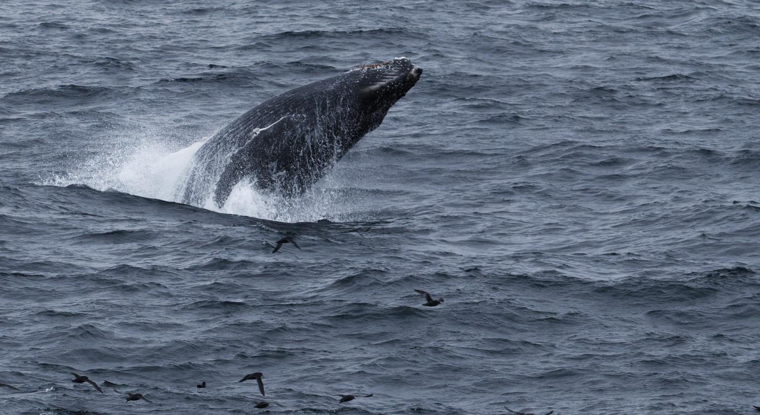Île de Wrangel : baleines grises