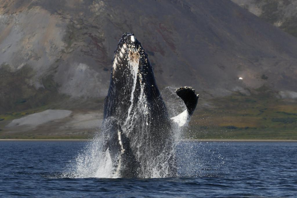 Île de Wrangel : baleines à bosse, ça saute !