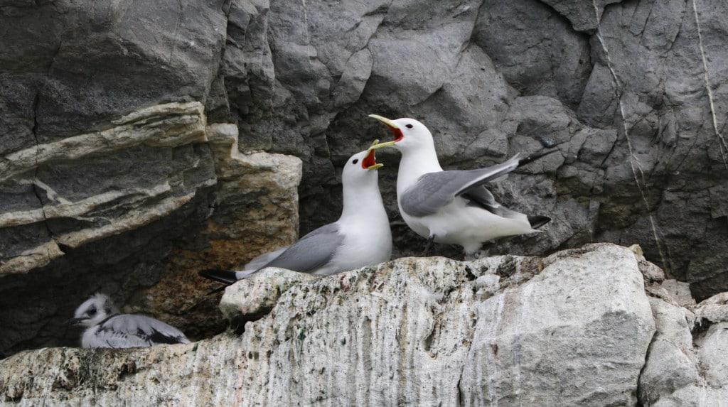Île de Wrangel : mouette tridactyle