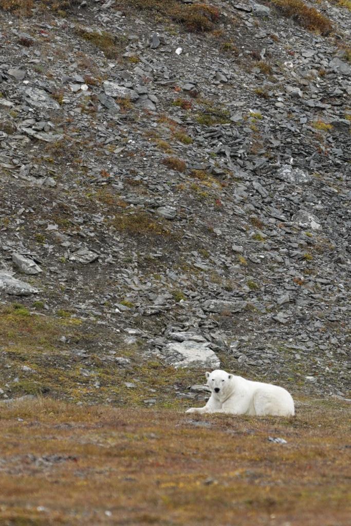 Île de Wrangel, ours polaires